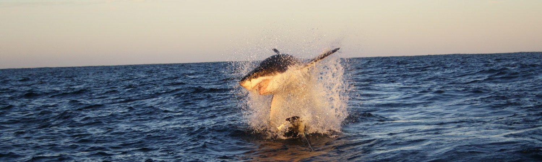 Shark Cage Diving Hermanus